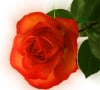No Valentine's roses for Stockholm school children