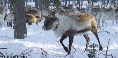 Reindeer catastrophe overshadows Sami national day