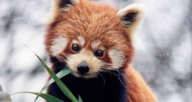 Pandas butchered at Nuremberg Zoo