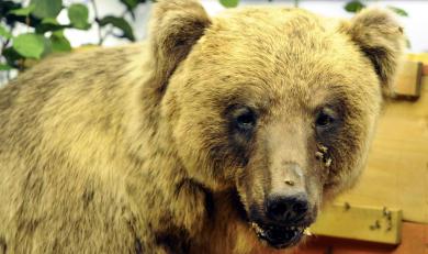 Bruno the bear debuts