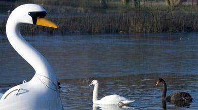 Jilted German swan reunited with paddleboat crush