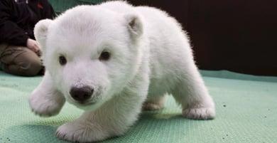 Polar bear cub Snowflake prepares for media debut
