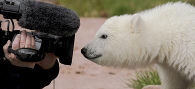 Polar bear Snowflake flops in Nuremberg