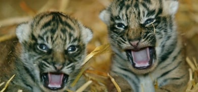 German zoo investigated for killing tiger cubs