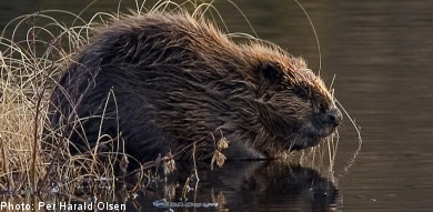 Matilda, 4, bitten by beaver