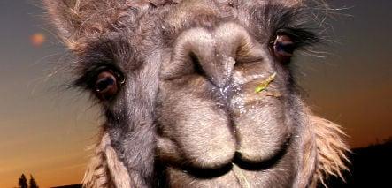 Woman caught rooming with three-legged llama in Mülheim