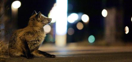 The fox nose