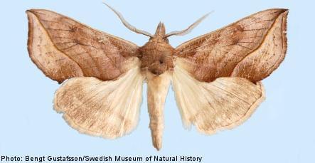 Vampire moth turns up in Sweden