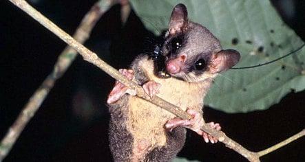 German scientists discover hard-drinking tree shrew