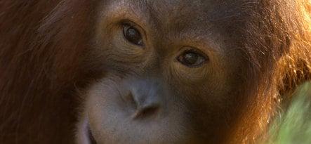 Hamburg orangutan drowns after visitor throws food