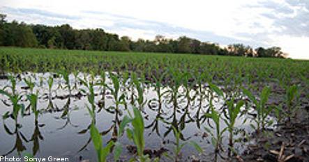 Heavy rain threatens Swedish harvest