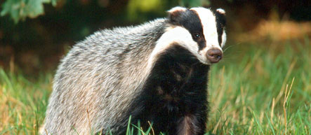 Mating German badgers cause police chopper emergency call
