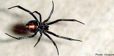 Black widow spider now calls Sweden home