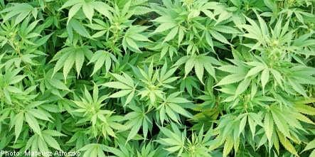 Cannabis found on Swedish military training area