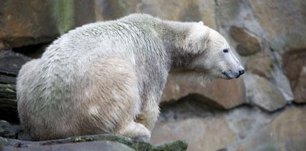Berlin zoo monitoring Knut following keeper's death