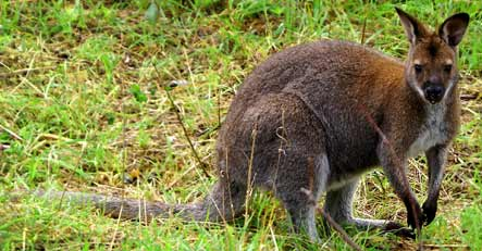 Siegburg police identify wily mystery kangaroo