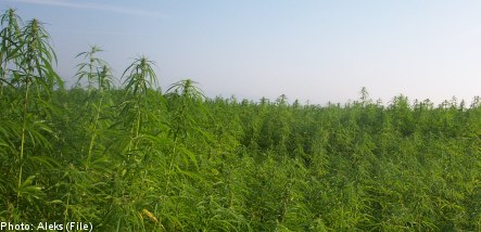 Swedish police seize thousands of baffling cannabis plants