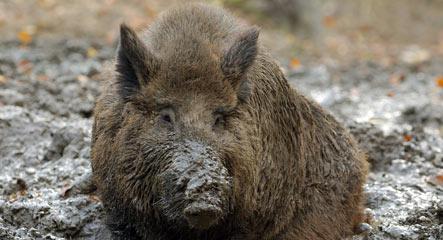 Wild boar kills hunter near Potsdam