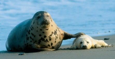 Season's first grey seal pups born on Helgoland