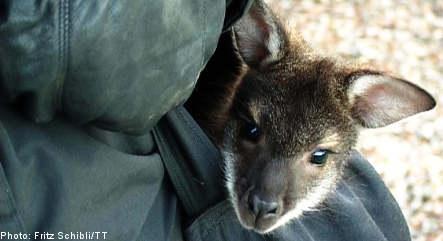 Orphan kangaroo Walter rejoins Ystad mob