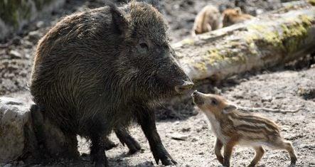 Wild boar storms community centre