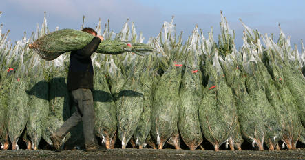 Vandals 'behead' 2,400 Christmas trees