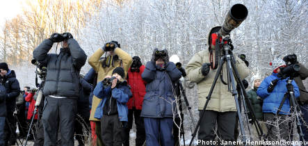 Birdwatchers flock to Stockholm for rare sparrow sighting