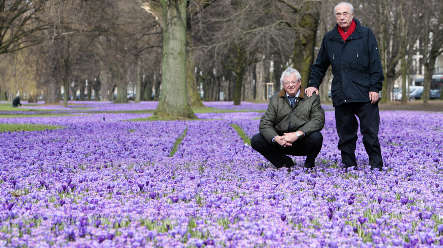 Five million crocuses bring a touch of spring to the Rhineland