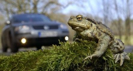 Toad migration season keeps fence volunteers busy