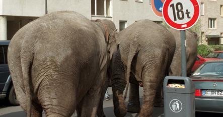 Elephants roam Berlin suburbs