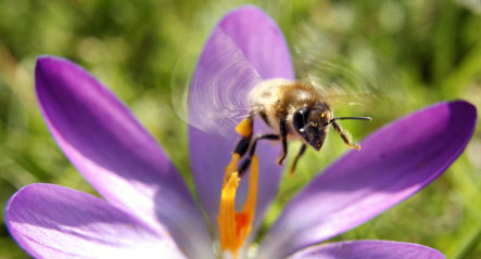 Bees stressed out by spring flower glut