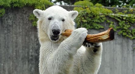 Stuttgart polar bear Wilbär headed to Sweden