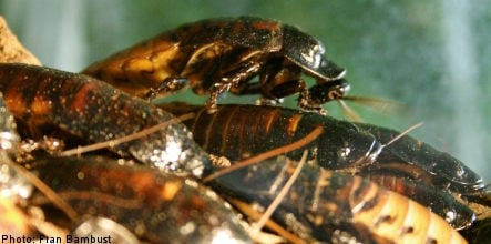 Cockroach invasions plague more Swedish homes
