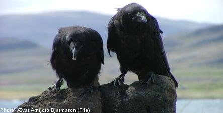 Hungry ravens kill fourteen calves in central Sweden