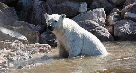 World's largest polar bear park opens in Sweden