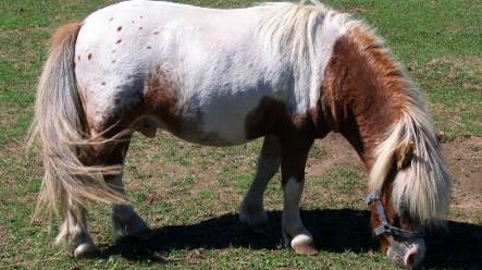 Lost mini-horses taken in by kindly Bavarian monks