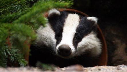 Drunk badger blocks traffic