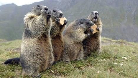 Alpine farmers furious over marmot plague