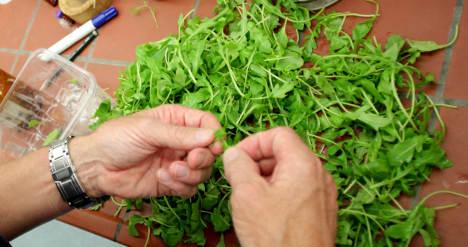 Officials order checks on rocket salad after poison plant find
