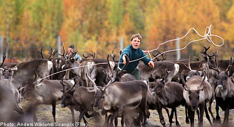 More freedom proposed for Sami reindeer herders