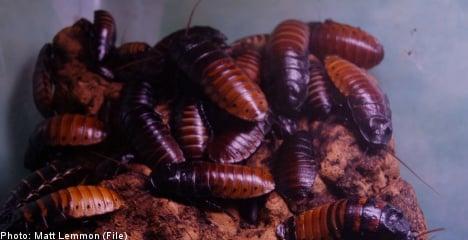 Cockroach surprise for Swedish property mogul