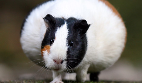 Filthy flat filled with 300 abandoned guinea pigs