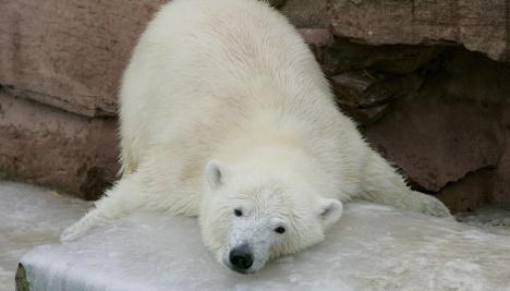 Nuremberg's star polar bear Flocke headed to the French Riviera