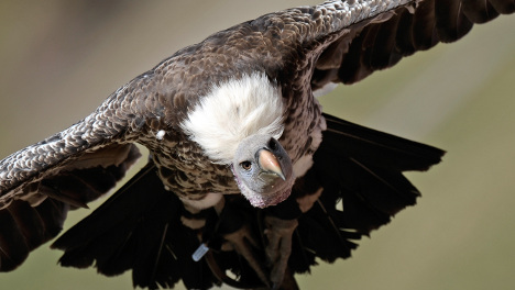 Tidy wilderness rule blocks vultures' return to German Alps