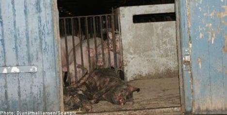 Swedish pig farms flout animal protection laws