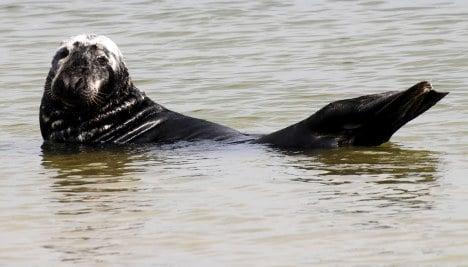 Grey seal watching trips start as population stabilises