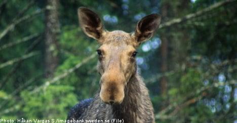 Inebriated elk terrorizes streets of Södertälje