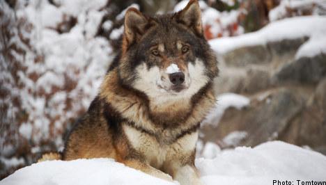 Criticism soars as Sweden's wolf hunt ends