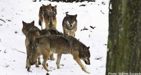 Wolves liquidated after Swedish zoo escape