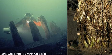 Shipworms pose risk for Baltic treasures
